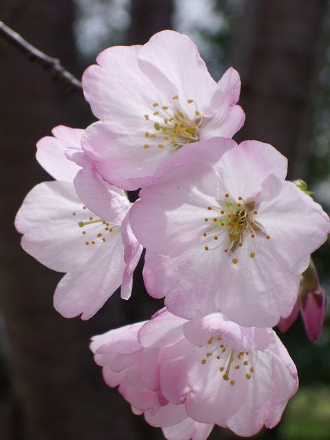 sakura flower closeup