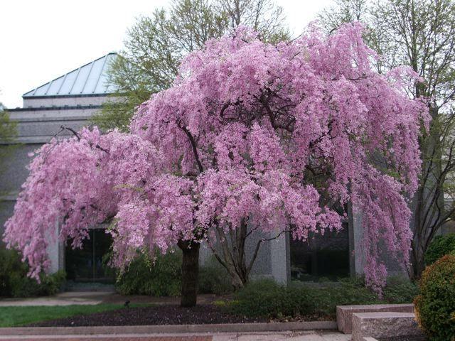 tree sakura